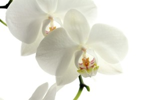 orchid-pic2